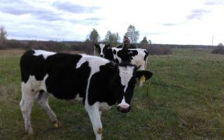 Стрессоустойчивость молодняка крупного рогатого скота  различных пород