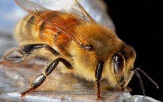 Урожайность мёда и факторы, влияющие на нее