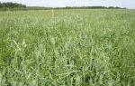 Злаковые кормовые травы в улучшенииаридных пастбищ