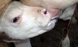 Общие ошибки при кормлении молочных коров