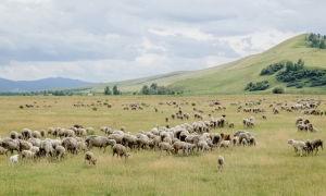 Астрагалы – их роль в обогащении аридных пастбищ для овец