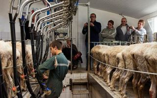 Дают ли овцы молоко: строки о молочном овцеводстве