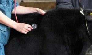 Генетическая устойчивость к заболеваниям коров