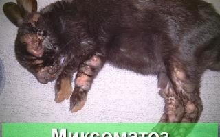 Миксоматоз кроликов: профилактика и лечение