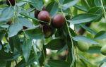 Переработка плодовой и листовой массы унаби