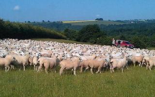 Оплодотворяемость овец