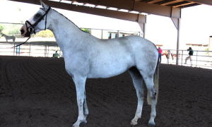 Продажа и покупка лошадей