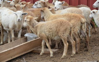 Кормление овцематок