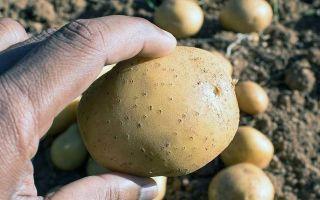 Картофель: от посадки до сбора урожая