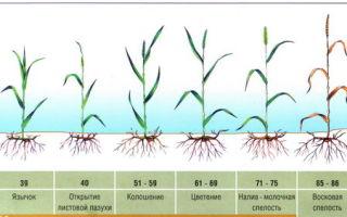 Влияние на характеристикизерна озимой пшеницы