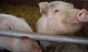 Кормовая лактулоза для свиней
