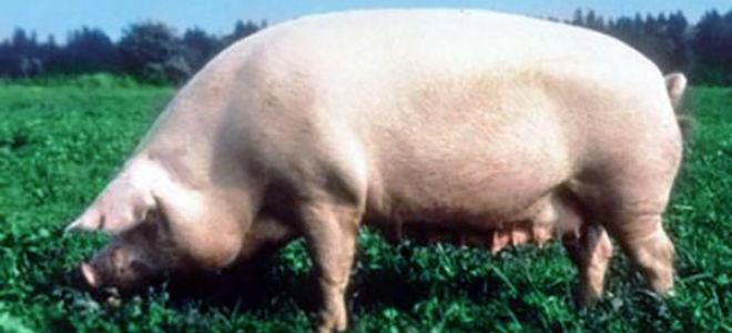 Уржумская порода свиней: характерные особенности
