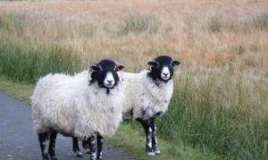 Бакурская порода овец