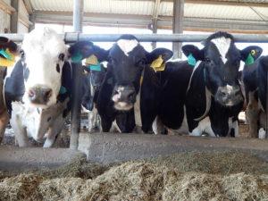 - Общие ошибки при кормлении молочных коров - kormlenie-i-ratsiony-dlya-krs, kormlenie