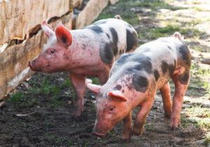 Свиньи - Возникновение природного очага африканской чумы  свиней на территории Волгоградской области - veterinarija
