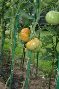- Некоторые элементы сортовой агротехникииндетерминантного сорта томата - rastenievodstvo