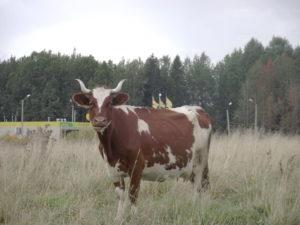 Коровы - Айрширская порода коров - porody-krupnogo-rogatogo-skota, porodi
