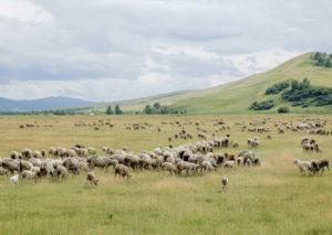 Овцы - Астрагалы – их роль в обогащении аридных пастбищ для овец - rastenievodstvo, kormlenie-mrs