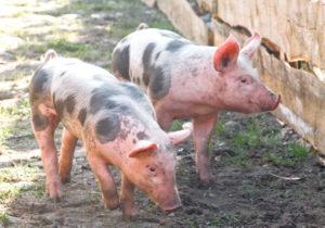 Свиньи - Влияние БАД на профилактику стрессов у поросят - veterinarija