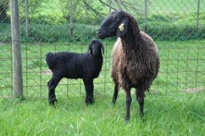 Овцы - Бакурская порода овец - porody-melkogo-rogatogo-skota, porodi