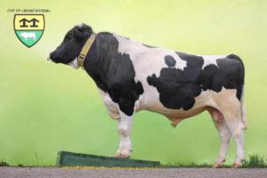 Коровы - Черно-пестрая порода коров - porody-krupnogo-rogatogo-skota, porodi