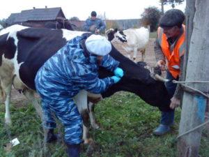 - Внедрение новых методов серологической  диагностики бруцеллёза животных - veterinarija