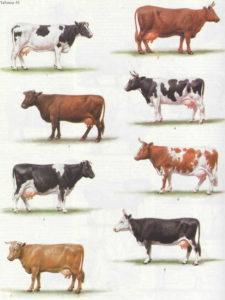 Коровы - Продуктивные свойства коров, продуцировавших  в разных экологических зонах - moloko
