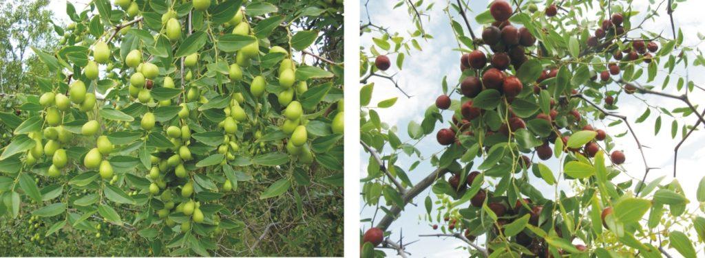 - Переработка плодовой и листовой массы унаби - rastenievodstvo