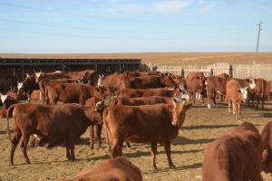 Коровы - Калмыцкая порода коров - porody-krupnogo-rogatogo-skota, porodi