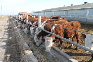 Коровы - Казахская белоголовая порода коров - porody-krupnogo-rogatogo-skota, porodi