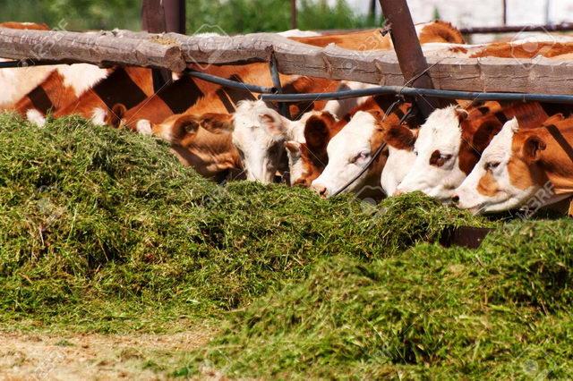 Коровы - Зеленый конвейер для коров - kormlenie-i-ratsiony-dlya-krs