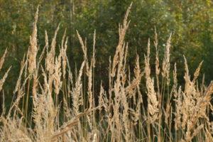 - Злаковые кормовые травы в улучшенииаридных пастбищ - rastenievodstvo