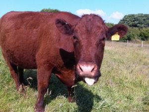 Коровы - Красная степная порода коров - porody-krupnogo-rogatogo-skota, porodi