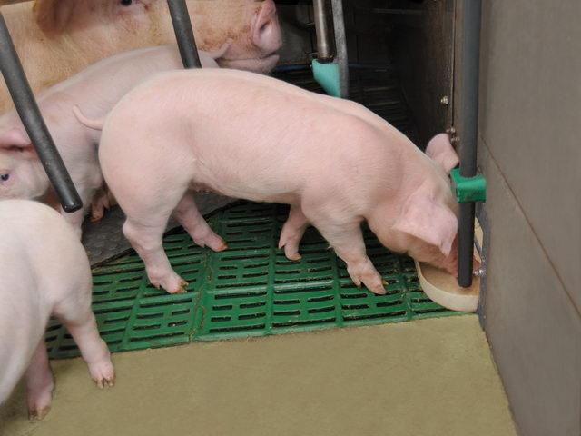 Свиньи - Свиноводство для начинающих - razvedenie