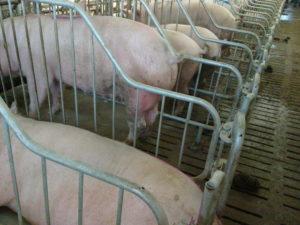 Свиньи - Кормовая лактулоза для свиней - kormlenie-svinej, kormlenie