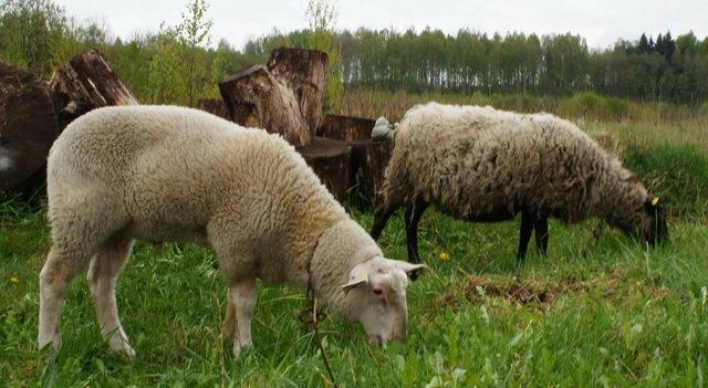 - Кормление овцематок - kormlenie-mrs