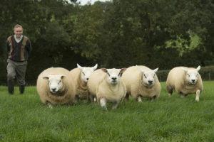 Овцы - Оплодотворяемость овец - razvedenie