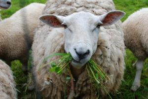 Овцы - Влияние подкормок меди и цинка суягных овец на развитие ягнят - kormlenie-mrs, kormlenie