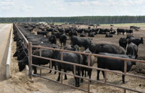 Коровы - Повышение мясной продуктивности бычков минеральными микродобавками - kormlenie