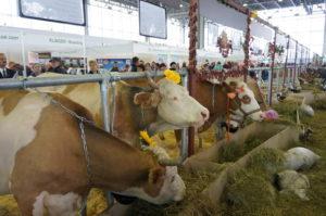 Коровы - Продуктивные качества коров-долгожительниц - moloko