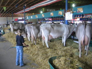 Коровы - Продуктивные качества коров-рекордисток - moloko