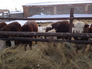 Коровы - Динамика роста бычков на интенсивном  вскармливании - kormlenie