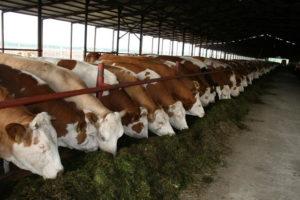 Коровы - Симментальская порода коров - porody-krupnogo-rogatogo-skota, porodi