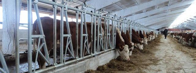 Коровы - Влияние технологии содержания бычков на убойные показатели - soderjanie