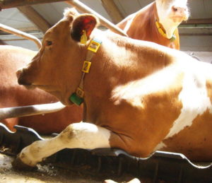 Коровы - Генетическая устойчивость к заболеваниям коров - veterinarija