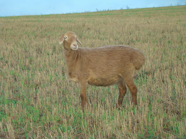 Овцы - Волгоградская порода овец - porody-melkogo-rogatogo-skota, porodi