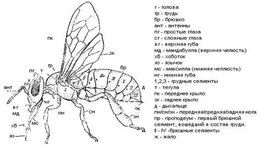 - Строение пчелы - pchelovodstvo