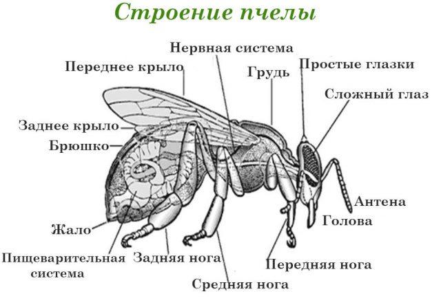 Пчелы физиология