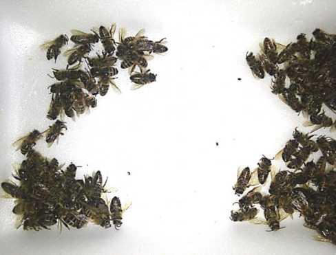 - Варроатоз: лечение и обработка пчел - pchelovodstvo