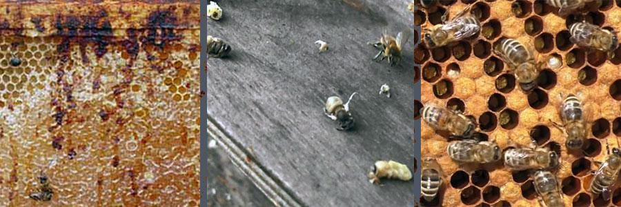 - Болезни и вредители пчел - pchelovodstvo
